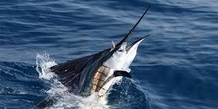 Yachts-Riviera-Maya-Deep-Sea-Fishing-White-Marlin-3