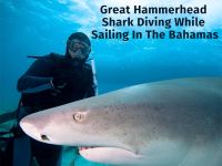 Great Hammerhead Shark Diving While Sailing In The Bahamas